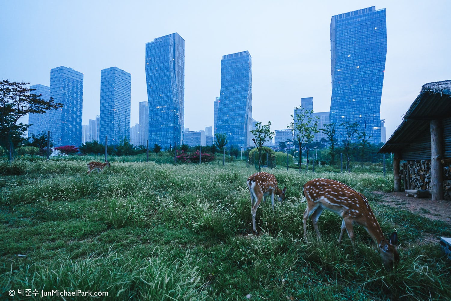 Captive deer-farm at the Central Park, Songdo, Incheon Free Economic Zone, South Korea. Aug 2015
